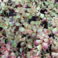 #sedum #succulent #denver #colorado #sustainable #gardening by gr8fldedm8kr
