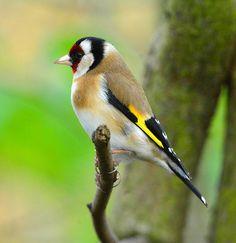 Goldfinch   by billoddie3