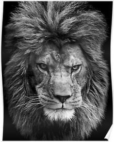 Black And White Lion Poster By Damndiamond In 2020 Black And White Lion Lion Poster White Lion