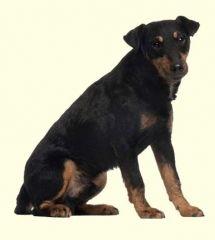 German Hunt Terrier Puppies For Sale