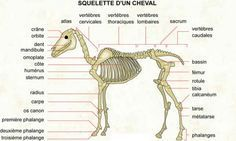 Horse Anatomy Pictures-Think Like a Horse-Rick Gore Horsemanship ® Hades Disney, Horse Anatomy, Animal Anatomy, Horse Information, Horse Facts, Vet Med, Animal Science, All About Horses, Veterinary Medicine