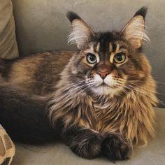 maine-coon-cat-photo.jpg
