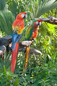 Parrots - Fuerteventura Poster 24 x 36in