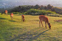 Deer @Wakakusayama, Nara-shi, Nara Prefecture, Japan          - Flickr - Photo Sharing!