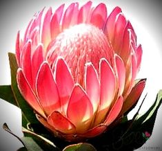 Pink Duke protea flowers, with its crown of softly curving petals and domed pink center fuzz make a great accent flower for modern wedding bouquets. Order wholesale pink duke protea flowers from Bella Wedding Flowers for all your bulk wedding flowers. Protea Art, Protea Flower, My Flower, Flower Power, Bulk Wedding Flowers, Cool Things To Make, How To Make, Flower Images, Exotic