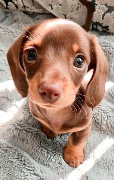 Nothing cuter than the big brown eyes of a baby doxy! #dogmom #puppy #cutepuppy Super Cute Puppies, Baby Animals Super Cute, Cute Wild Animals, Cute Little Puppies, Cute Baby Dogs, Cute Funny Dogs, Cute Little Animals, Cute Funny Animals, Baby Animals Pictures