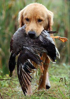 Golden retriever. #Retriever #Hunting #Dogs