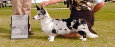 Champion Cardigan Corgi