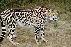 Resultado de imagem para jaguar ALBINO
