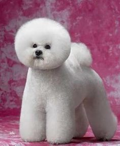 This is a well groomed Bichon!! All ready for The Westminster Dog Show!! : )