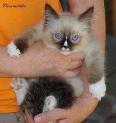 New Ragdoll Kittens for sale