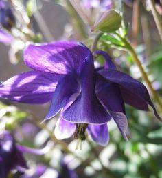Deep Purple Columbine Flower