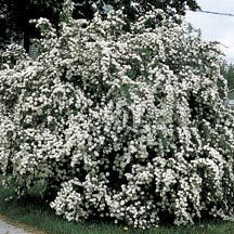 Van Houtte Spirea- One of the best known and most useful shrubs, fine for setting singly or among other shrubs. It forms a round and graceful plant, 6 to 8 feet high, with dropping or arched branches which in June are completely covered with snow white blossoms. Can be planted in full to partial sun.