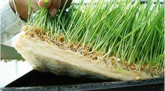 Guia: Producción Intensiva de Forraje Verde : .: Hydro Environment .: Vertical Farming, Garden Pool, Hydroponics, Herbs, Plants, Mexico, Environment, Precision Agriculture, Coir