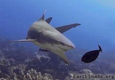 Lemon Shark by Thomas Vignaud