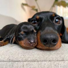 A day with my dachshund and puppies. Dachshund Puppies, Weenie Dogs, Dachshund Love, Cute Puppies, Cute Dogs, Dogs And Puppies, Daschund, Doggies, Dapple Dachshund