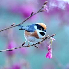 Before sunrise by Mirror_Lake, Black-Throated Tit
