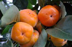 Organic Heirloom 30 Seeds Asian Persimmon Tree Shrub par seedsshop, $1.79