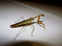 paHis: PA Insects: The Praying Mantis