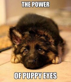 34 German Shepherd Puppy Pictures That Will Make Your Heart Melt