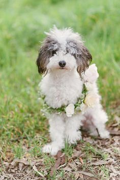 Maltipoo, Poodle Mix, Poodle Hybrid, Oodle, Doodle, Dog, Puppy pinned by myoodle.com