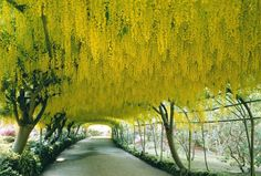 Laburnum vossii trees in Bodnant Garden, Gwynedd, Wales - The Travel Library/Rex Features