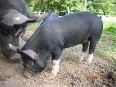 Sweetheart Berkshire pig