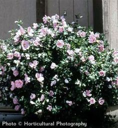 Rose of Sharon (Hibiscus syriacus) is an upright growing shrub that can reach a height of 8'-10' with a spread of 4'-6'. These bushes profit from pruning. Blooms can be red, pink, blue or white. Works well in shrub borders.