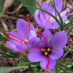 Did you ever think about growing your own saffron? Learn how here. (25 Saffron Crocus Bulbs-Rare Spice-Crocus Sativus)