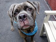 SAFE 5-7-16♡♡♡♡Manhattan Center TAFEE – A1071852 I am a neutered male, gr brindle Cane Corso mix. The shelter staff think I am about 5 years old. I weigh 68 pounds. I was found in NY 11205. I have been at the shelter since Apr 28, 2016.