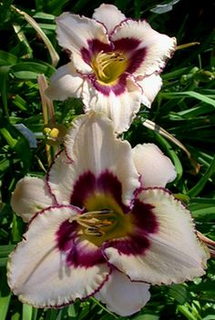 Moonlit Masquerade Daylily. I have this one!!!