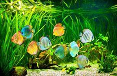 Nitrogen Cycle in New Aquarium Diskus Aquarium, Aquarium Filter, Aquarium Design, Planted Aquarium, Aquarium Ideas, Fish Aquariums, Discus Tank, Discus Fish, Betta