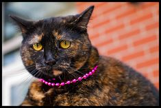 gussied up tortie