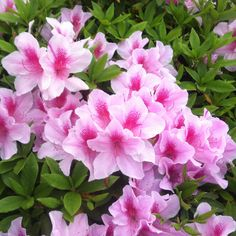 Cluster of azalea blossoms with leaves