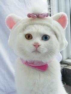 Odd-eyed cute kitten