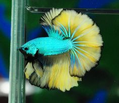 Green mustard dragon Betta. Love the vibrant turquoise body. One of the most eye catching because the the lemon yellow fins and the black outline. A must have for me.