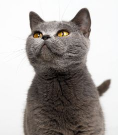 British Shorthair Cats — Weetzie's