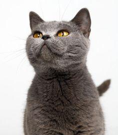 British Shorthair Cats — Weetzie's