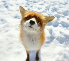 Cute #fox