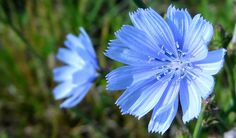 blue chickory flowers on IN 32
