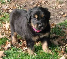 Hovawart puppy photo and wallpaper. Beautiful Hovawart puppy pictures
