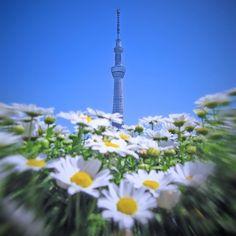 花の向こうのスカイツリー TOKYO SKYTREE seen on the other side of the white flowers.  蜂の目線で見つめたスカイツリーそんな雰囲気を楽しんでいただけましたらとっても嬉しいです  #cooljapan #japan #tokyo #landscape #landscape_lovers #landscapes #landscape_captures #architecture #architecturelovers #Lovers_Nippon #team_jp_ #ig_today #ptk_japan #jp_gallery #IGersJP #webstagram #instagood #flying #bluesky #flowers #tokyocameraclub #skytree #tokyoskytree #東京カメラ部 #東京スカイツリー #スカイツリー by akihiro_ishikawa