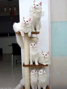 White Norwegian Forest Cats....