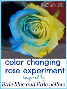 Such a fun way to connect science and literacy!  Make a Little Blue and Little Yellow Rose based on Leo Lionni's Little Blue and Little Yellow!  (Homegrown Friends)