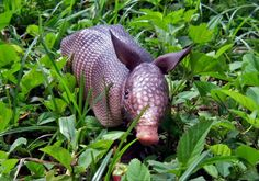 This Texas girl is happy to see a baby armadillo in Pinterest.