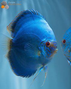 Cobalt Blue Discus Male ⠀ #discus #diskus #diskusfische #aquarium #symphysodon #tropicalfish #discusfarm #discusfish #fish #discusbreeding #fishfarm #fishtank #fishkeeper #fishkeeping #instafish #fishofinstagram #freshwater #freshwaterfish #ディスカス #アクアリウム #魚 # #熱帯魚 #fishporn #aquariumsofinstagram #instapet #aquariums #cichlid #diskusfisch #дискусы