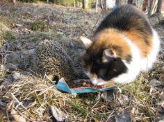 A wild hedgehog and a domestic cat having lunch together. Photo: Annikka Kujala. Source: Kaleva Newspaper Oulu Finland