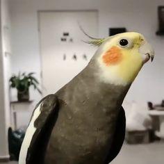 Super Cute Animals, Cute Little Animals, Cute Funny Animals, Funny Birds, Cute Birds, Conure Bird, Funny Parrots, Bird Gif, Cute Animal Videos