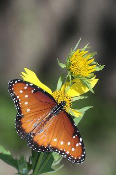 Queen butterfly on Cowpen Daisies