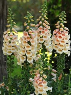 Foxglove, Dalmatian Peach. Self-seeding, so the following year they come back all by themselves!